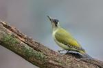 Green Woodpecker - John Harvey