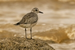 Grey Plover looking over the Wash - Nick Bowman