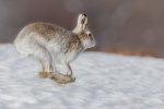 MOUNTAIN HARE-Kevin Pigney. Highly Commended