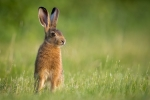 YOUNG LEVERET-Kevin Pigney. Highly Commended