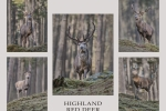 Highland Red Deer - John Harvey