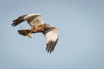Marsh Harrier with nesting material - Nick Bowman