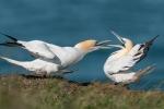 Northern Gannets fighting - John Harvey