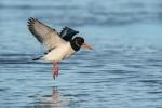 John Harvey - Oystercatcher landing