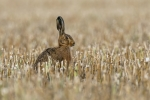 Nick Bowman - Brown hare in the stubble at sunset