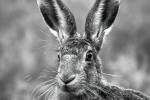 Nick Bowman - Hare on full alert