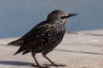 Starling (sturnus vulgaris) - Shirley Eastwood