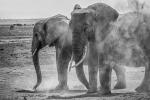 Dustbathing in Amboseli - Bruce Liggitt