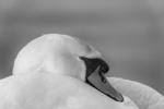 Majestic mute swan - Nick Bowman