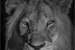Lion at night - Bruce Liggitt