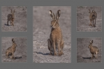 Brown Hare - Bruce Liggitt