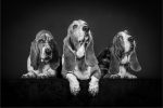 THE THREE BASSETTS - Kevin Pigney