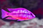Dave Hawkins-Lake Malawi Cichlid Haplochromis Virgatus