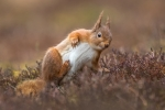 Kevin Pigney-RED SQUIRREL HAVING A SCRATCH