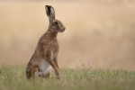 BROWN HARE WITH WILD FLOWERS - Kevin Pigney