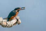 KINGFISHER SNACK-  John Harvey
