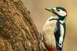 GREAT SPOTTED WOODPECKER-Nick Bowman