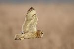 SHORT EARED OWL-Kevin Pigney