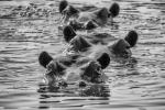 POD OF HIPPOS-Bruce Liggitt