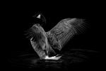 Kevin Pigney - Goose in profile