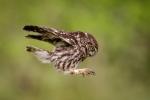 Kevin Pigney - LITTLE OWL LANDING