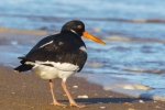 Nick Bowman - OYSTERCATCHER LOOKING FOR MUSSELS