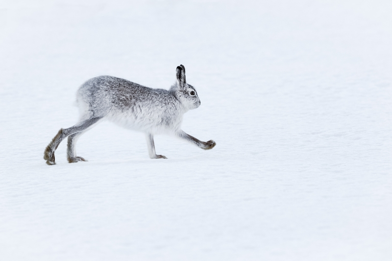 Kevin Pigney-Mountain hare