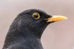 Blackbird Male
