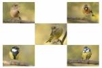 Brambling finches and tits panel - Nick Bowman