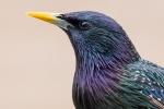 Starling Adult