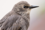 Starling juvenile